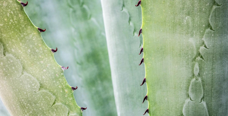 Hojas de una planta de aloe vera