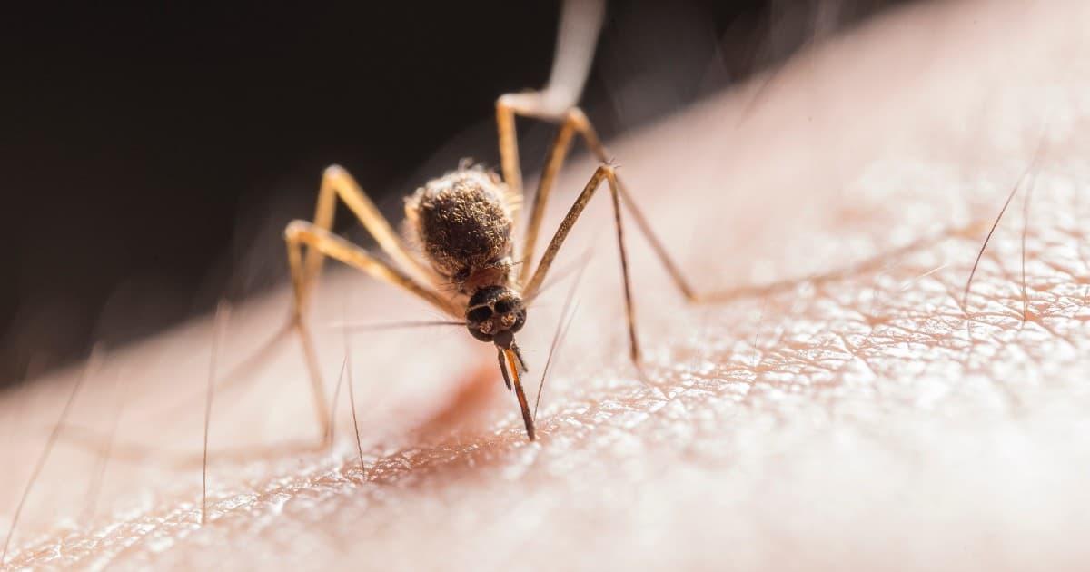 Mosquito citronela