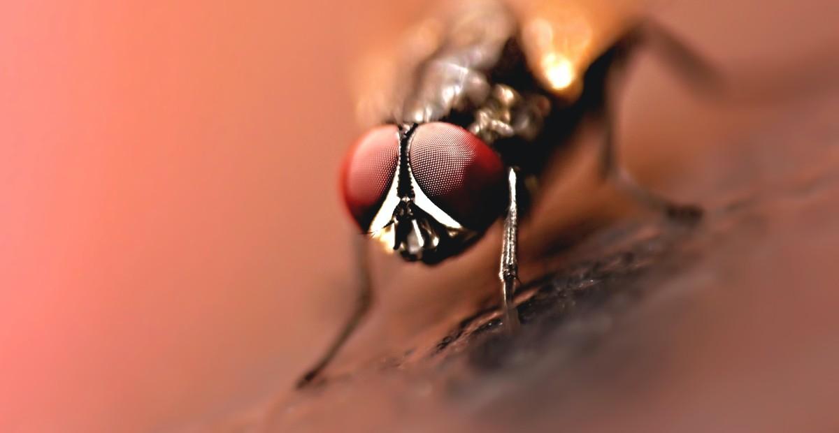 La-osca-negra-picadura-insectos
